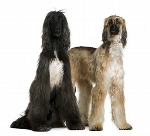 Afghan Hound pros and cons