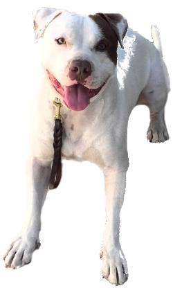 American Bulldog Vs Pitbull Breed Comparison