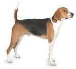 American Foxhound pros and cons