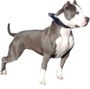 Pitbull Terrier vs American Staffordshire Terrier