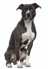 American Pit Bull Terrier pros and cons