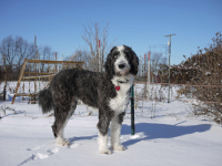 Aussiedoodle pros and cons