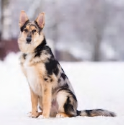 Australian Shepherd German Shepherd mix image