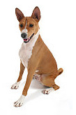 Basenji pros and cons