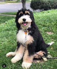 Bernedoodle pros and cons