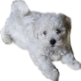 Bichon Frise temperament