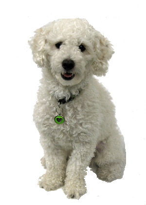 Toy Poodle Mix Bichon – Wow Blog
