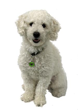 Bichon Frise Vs Poodle Breed Comparison