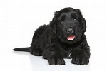Black Russian Terrier grooming