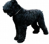 Black Russian Terrier pros and cons