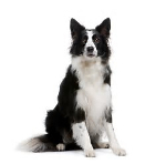 The most intelligent dog breed is the Border Collie