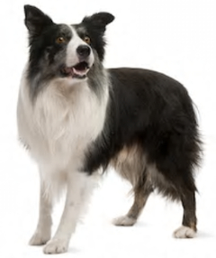 Border Collie vs Australian Shepherd