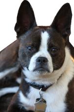 45+ Boston Terrier Size Comparison