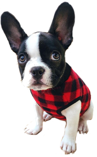 Boston Terrier French Bulldog mix image