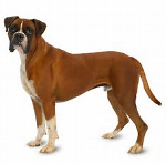 Boxer dog pros and cons