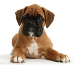 Pros and cons of owning a Boxer dog