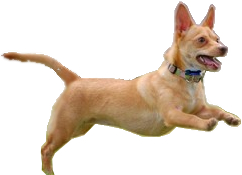 Chiweenie pros and cons