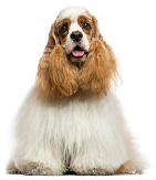 Cocker Spaniel pros and cons