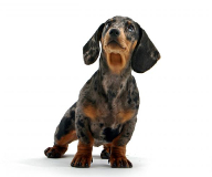Dachshund pros and cons