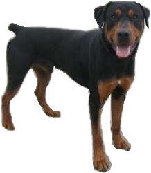 Doberman Vs Rottweiler Breed Comparison
