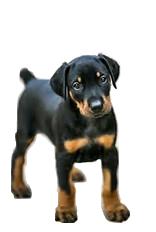superior size doberman puppies