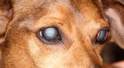 image of glaucoma in a dog