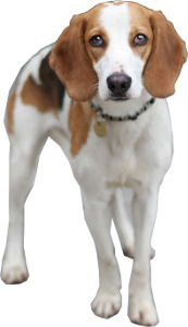Foxhound vs Beagle: Breed Comparison