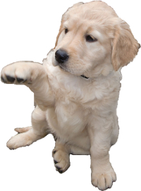Labrador Retriever Vs Golden Retriever Breed Comparison