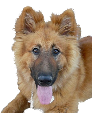 Golden Shepherd dog image