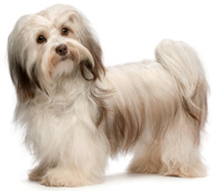 Havanese pros and cons