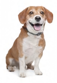 Jack Russell Terrier Beagle mix