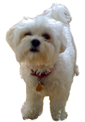 bichon frise vs maltese maltese vs bichon breed comparison 8046
