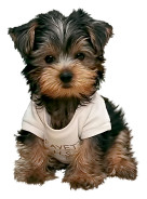 Maltese Yorkie mix dog image