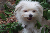 Maltese cross breeds