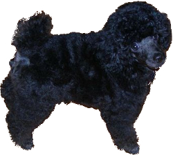 Toy Poodle Miniature Poodle Mix image