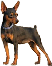 Min Pin Vs Chihuahua Breed Comparison
