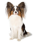 Papillon pros and cons