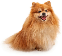 Pomeranian vs Papillon