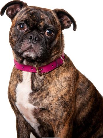 boston terrier vs pug breed comparison
