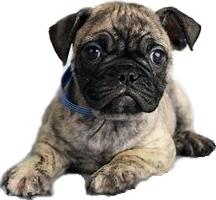 Pug Vs French Bulldog Breed Comparison