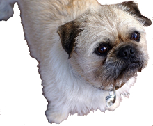 Pug Vs Shih Tzu Breed Comparison