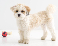 Shih Poo pros and cons