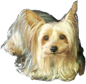 Silky Terrier Vs Yorkie Breed Comparison