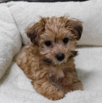Yorkie Poo pros and cons