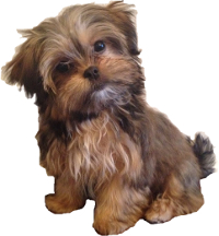yorkie and shih tzu mix price yorkies vs shih tzu breed comparison 6141