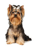 Yorkie pros and cons
