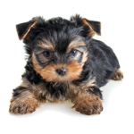 Owning a Yorkshire Terrier pros and cons
